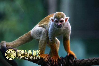 """生肖当中,猴子排行第九位,配属十二地支""""申"""";   猴子的非常聪明的动物"""