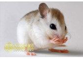 哪年属鼠 属鼠的人命运