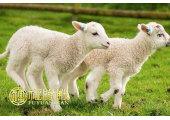 属羊九月出生好不好