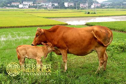 牛的象征_73年属牛的属相婚配表-福缘殿