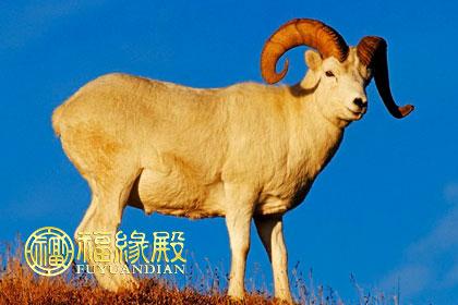 为什么说属羊的命苦