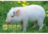 1971年属猪的人什么命