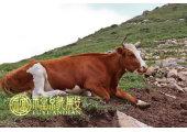属牛哪年出生