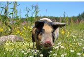 属猪的几月份出生好