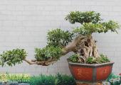 榕树盆景怎么养对风水好?